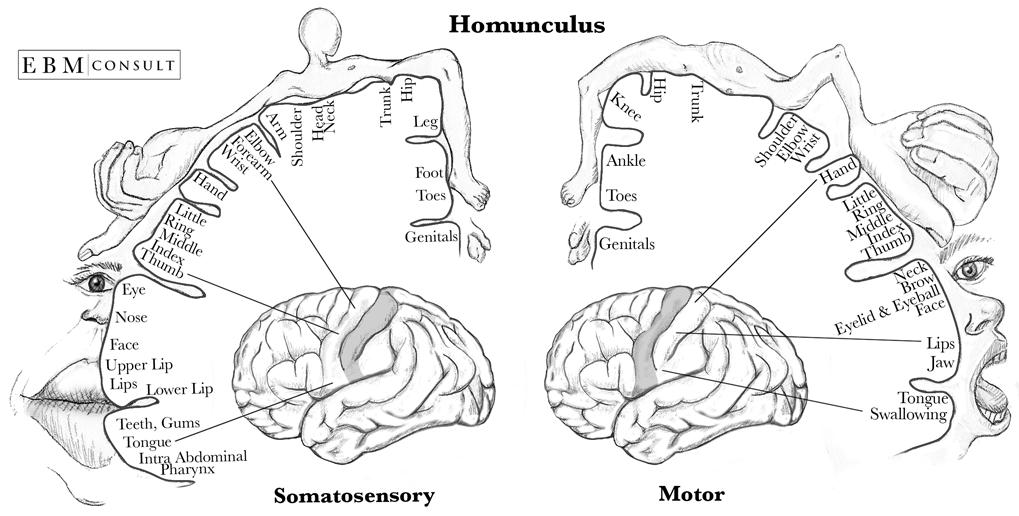 Homunculus Sensory And Motor Cortex