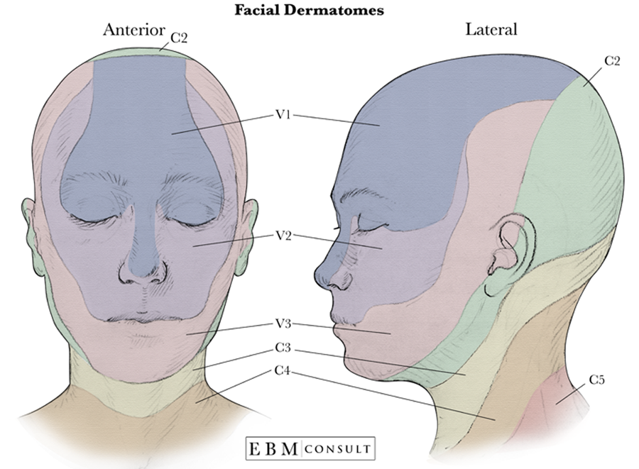 Anatomy: Dermatomes of the Face Image