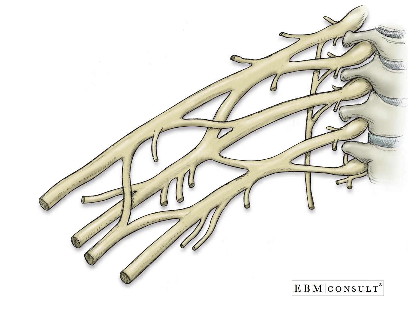 Anatomy Brachial Plexus