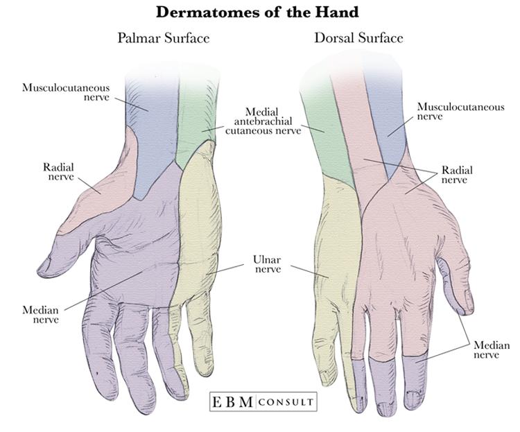 Anatomy: Dermatomes of the Hand