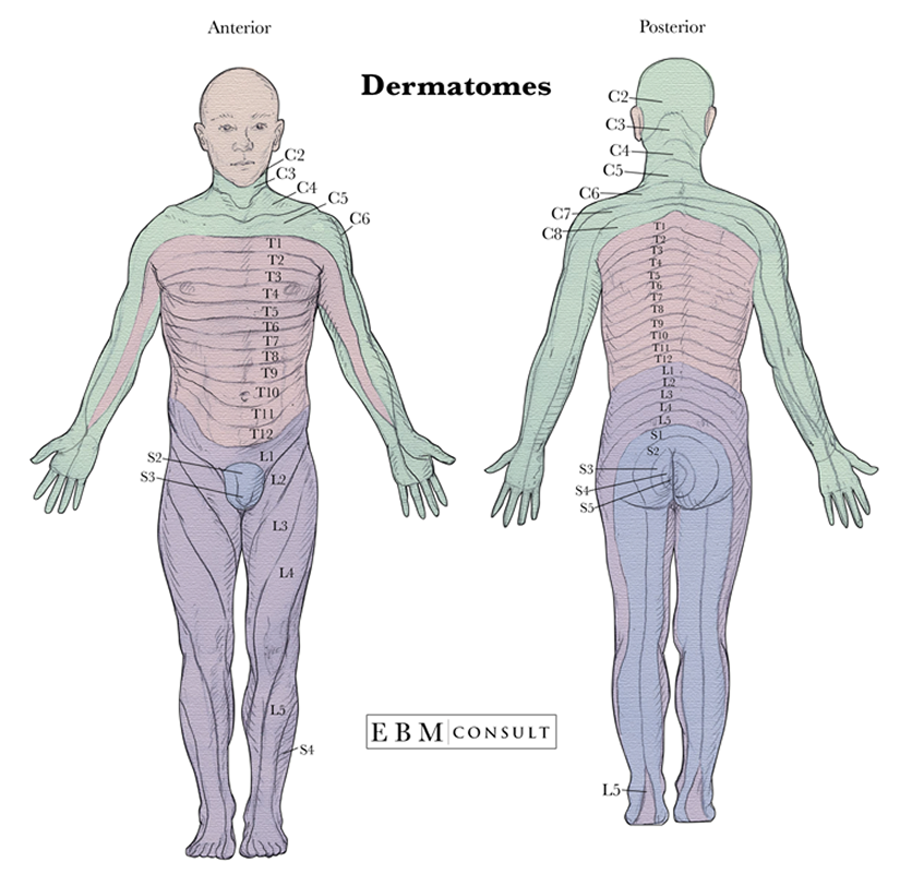 dermatomes full body anatomy image