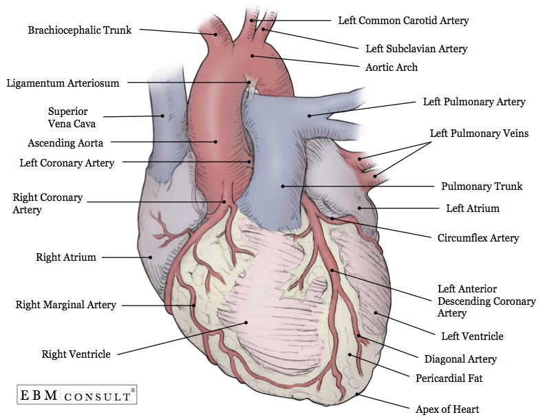 Anatomy heart external heart anatomy anterior view image ccuart Images