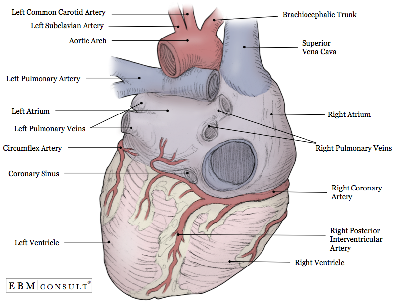 Heart Anatomy Posterior View Image