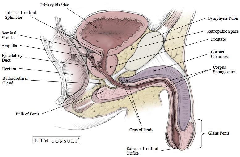 Kidney Anatomy - Image