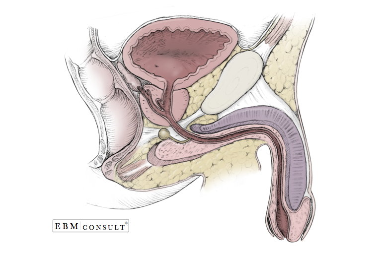Male Genitourinary Anatomy Bladder Prostate Penis In Sagital View