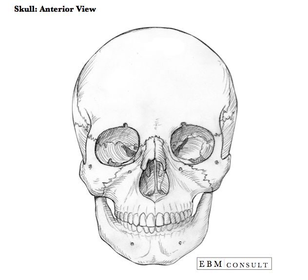 Anatomy: Skull Anterior Bone View