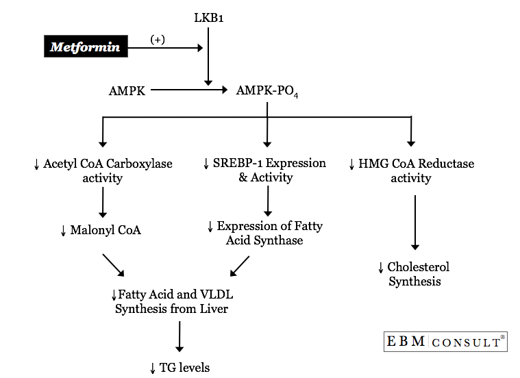 Metfomin Mechanism for Lipid Lowering Effects