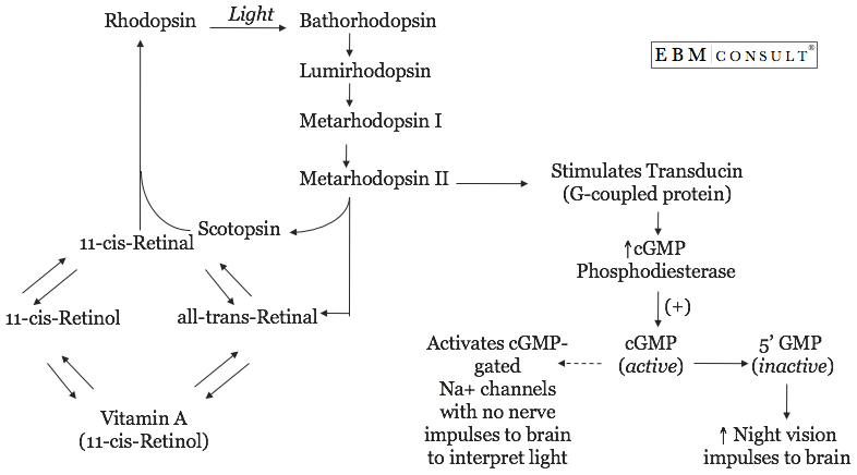 The Mechanism For Vitamin A Improvements In Night Vision